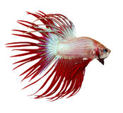 Siamese fighting fish , betta isolated. On white background royalty free stock photography