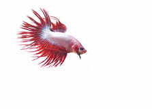Siamese fighting fish. Betta isolated on white background Royalty Free Stock Photo