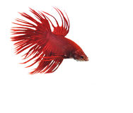 Siamese fighting fish. Betta isolated on white background Royalty Free Stock Image