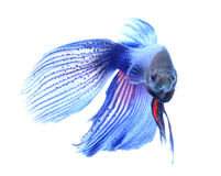 Siamese fighting fish , betta isolated on white background. Royalty Free Stock Image