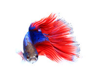 Siamese fighting fish , betta isolated on white background. Stock Images