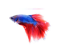 Siamese fighting fish , betta isolated on white background. Stock Image