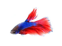 Siamese fighting fish , betta isolated on white background. Royalty Free Stock Photography