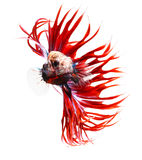 Siamese fighting fish, betta isolated on white Royalty Free Stock Photos