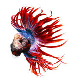 Siamese fighting fish, betta isolated on white Royalty Free Stock Images