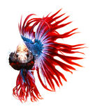 Siamese fighting fish, betta isolated on white Royalty Free Stock Image