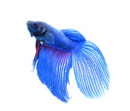 Siamese fighting fish , betta isolated on white backgroundใ Stock Photo
