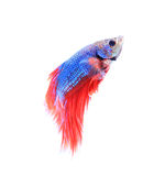 Siamese fighting fish , betta isolated on white background. Stock Photos