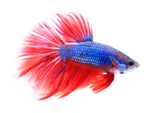 Siamese fighting fish , betta isolated on white background. Colorful siamese fighting fish , betta isolated on white background stock photos