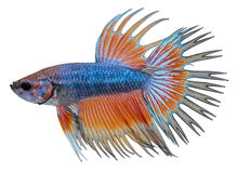 Siamese fighting fish. Betta Splendens Stock Photos