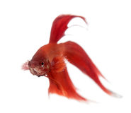 Siamese fighting fish, Betta splendens Stock Photo