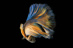 Siamese fighting fish ; Betta splendens. Siamese fighting fish, Betta splendens Stock Photography