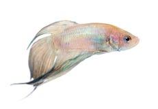 Siamese fighting fish -  Betta Splendens Royalty Free Stock Image