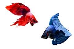 Siamese fighting fish. Betta splendens Stock Image