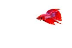 Siamese fighting fish. Betta splendens Royalty Free Stock Image