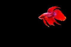 Siamese fighting fish. Betta splendens Stock Photos