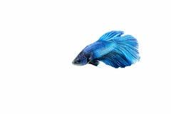 Siamese fighting fish. Betta splendens Royalty Free Stock Photos