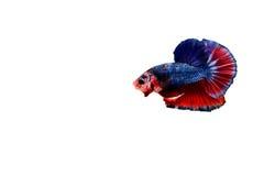 Siamese fighting fish. Betta splendens Royalty Free Stock Photo