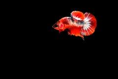 Siamese fighting fish. Betta splendens Stock Images
