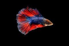 Siamese fighting fish. Betta splendens Royalty Free Stock Photography