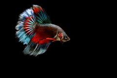Siamese fighting fish. Betta splendens Stock Photography