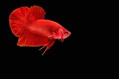 Siamese fighting fish. Betta splendens Royalty Free Stock Images