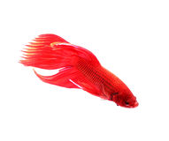 Siamese fighting fish, betta splendens isolated on white backgro Stock Images