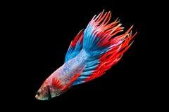 Siamese fighting fish, Betta splendens, Thailand blur. Art royalty free stock image