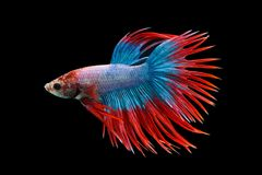 Siamese fighting fish, Betta splendens, Thailand blur. Art Royalty Free Stock Images