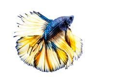 Siamese Fighting Fish. Betta fish on a white background Stock Photo