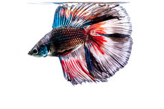 Siamese Fighting Fish. Betta fish on a white background Royalty Free Stock Images