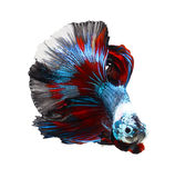 Siamese fighting fish, betta on white Royalty Free Stock Photography