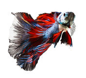 Siamese fighting fish, betta on white Royalty Free Stock Images