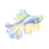 Siamese fighting fish. Blue aquarium small fish on a white background. Watercolor painting Royalty Free Stock Photos
