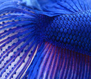 Siamese fighting fish , blue betta abstract Stock Images