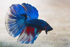 Siamese fighting fish. Fighter concept using Siamese fighting fish. Copy space Stock Photo