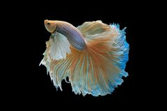 Siamese fighting fish. Fighting fish on balck background Stock Photography
