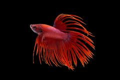 Siamese fighting fish. Fighting fish on balck background Stock Images