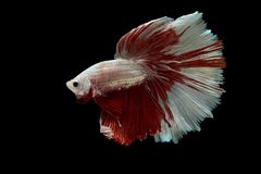 Siamese fighting fish. Fighting fish on balck background Royalty Free Stock Photo