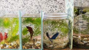 Siamese Fighting Fish in Fish Jars of Different Sizes Royalty Free Stock Image