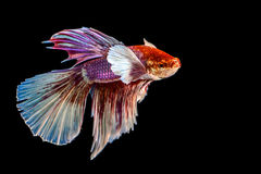 The Siamese fighting fish. The freshwater fish who have amazing colourful  on body,fin and long tail Royalty Free Stock Image