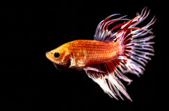 The Siamese fighting fish. The freshwater fish who have amazing colourful  on body,fin and long tail Royalty Free Stock Photography