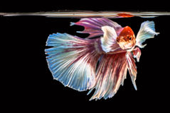The Siamese fighting fish. The freshwater fish who have amazing colourful  on body,fin and long tail Stock Photo