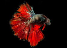 The Siamese fighting fish. The freshwater fish who have amazing colourful  on body,fin and long tail Stock Images