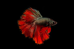 The Siamese fighting fish. The freshwater fish who have amazing colourful  on body,fin and long tail Stock Photography