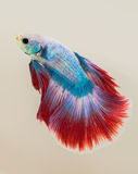 The Siamese fighting fish. The freshwater fish who have amazing colourful  on body,fin and long tail Stock Photos