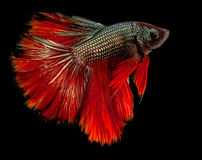 The Siamese fighting fish. The freshwater fish who have amazing colourful  on body,fin and long tail Royalty Free Stock Photos