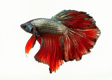 The Siamese fighting fish. The freshwater fish who have amazing colourful  on body,fin and long tail Royalty Free Stock Photo