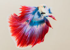The Siamese fighting fish. The freshwater fish who have amazing colourful  on body,fin and long tail Stock Image