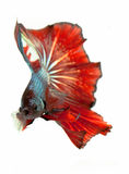 The Siamese fighting fish. The freshwater fish who have amazing colourful  on body,fin and long tail Royalty Free Stock Images